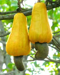 Raw Cashew Fruit
